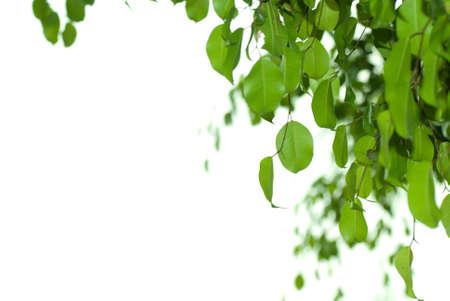 banyan: Banyan tree leaf isolated on white background