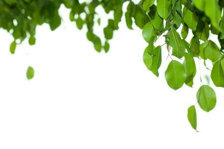 figs: Banyan tree leaf isolated on white background