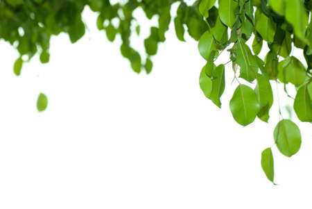 banyan: Hoja de �rbol Banyan aislado en fondo blanco