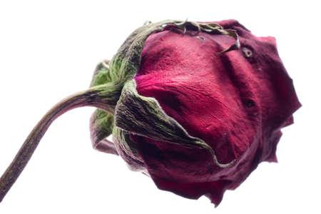 flores secas: flor rosa seco, aislado en blanco Foto de archivo
