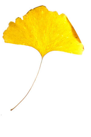 ginkgo: yellow ginkgo leaf isolated on white Stock Photo