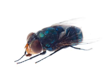 insect greenbottle fly isolated on white photo