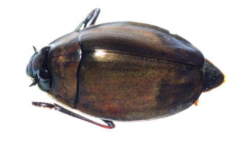 perinola: insecto Gyrinidae aislado en blanco