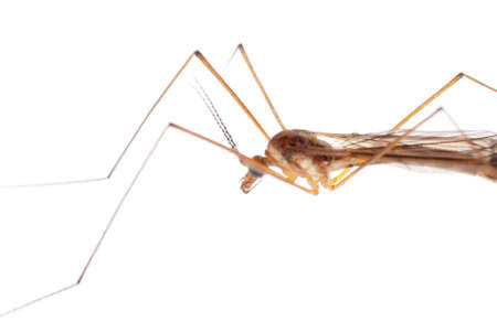 insect crane fly daddy longlegs isolated on white photo
