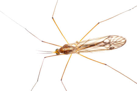 insect crane fly daddy longlegs isolated on white Stock Photo - 8745297