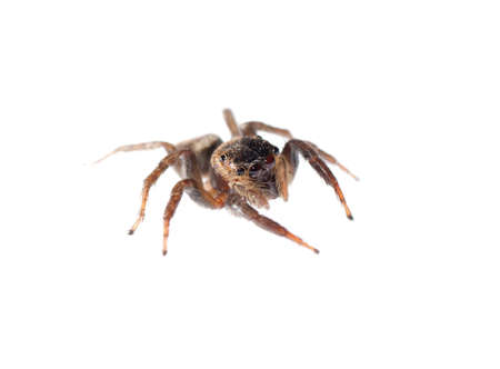 jumping spider isolated on white background photo