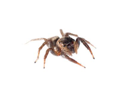 arachnophobia: jumping spider isolated on white background Stock Photo