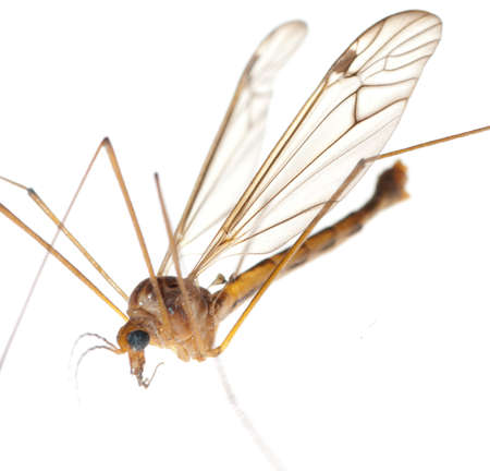 insect crane fly daddy longlegs Stock Photo - 8745296