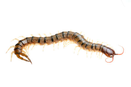 segmented bodies: poison animal centipede isolated on white