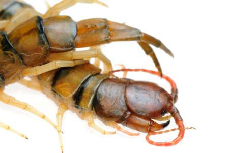 poison animal centipede isolated on white photo