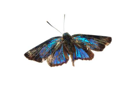 streak: butterfly silver streak blue isolated