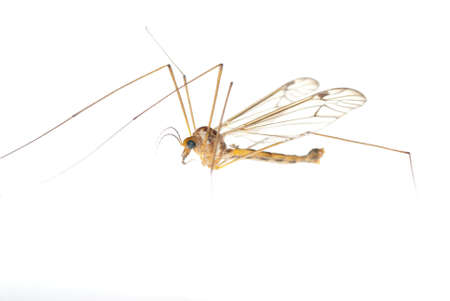 insect crane fly daddy longlegs Stock Photo - 8933090