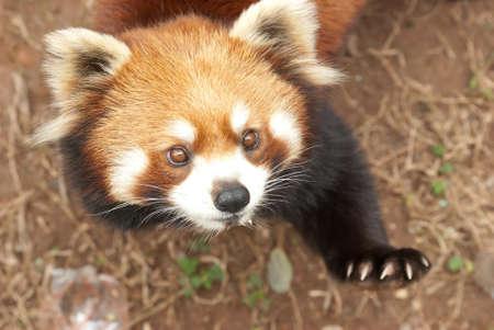 lesser: wild animal lesser panda bear