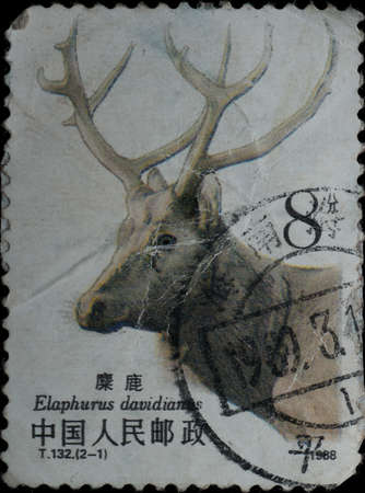 postmail: China - CIRCA 1988: A stamp printed in China shows elk Elaphodus davidianus , circa 1988