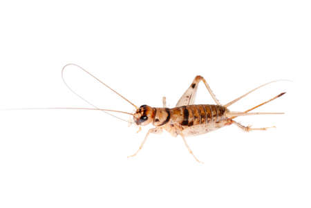 animal insect cricket isolated on white photo