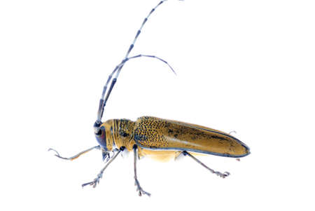 long horn beetle: insect mulberry borer long horn beetle
