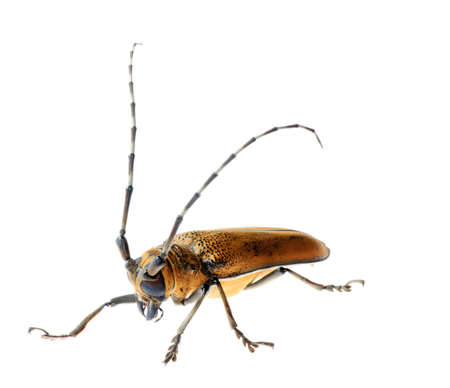 insect mulberry borer long horn beetle Stock Photo - 9121151