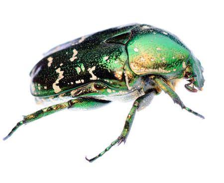 green beetle insect rose chafer isolated photo