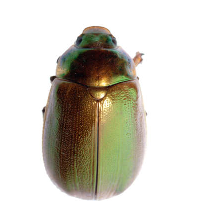 insect scarab beetle isolated on white photo