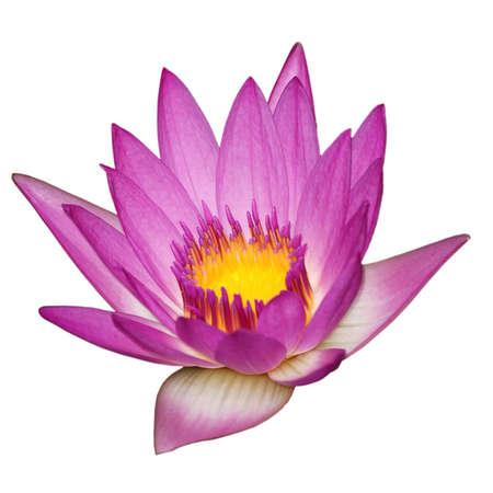 flores exoticas: flor rosa nen�far aislado en blanco