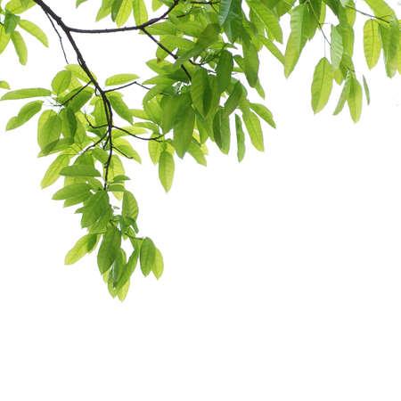 支店: 緑の葉の背景 写真素材