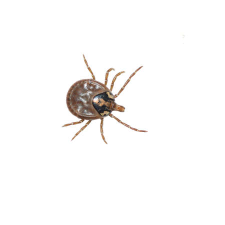 male wood tick: dog tick isolated