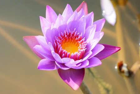 water lily flower macro shot photo