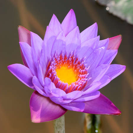 water lily flower macro shot photo