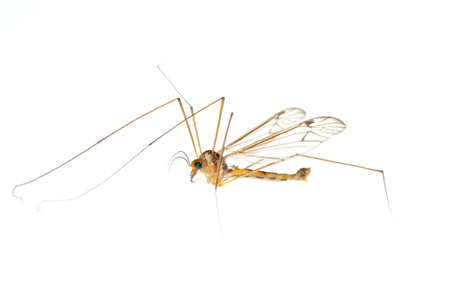 insect crane fly daddy longlegs photo