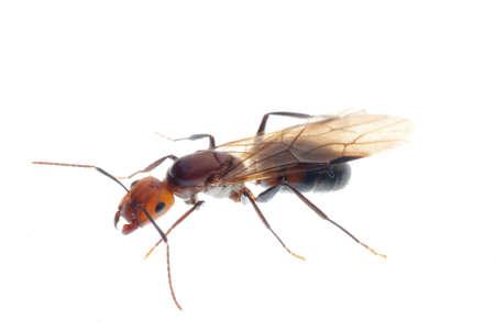 pismire: fertile ant