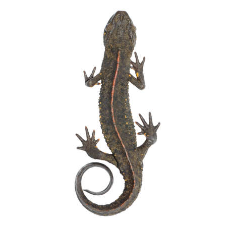salamandre: animaux salamandre chinois (Paramesotriton chinensis) isol�e sur fond blanc