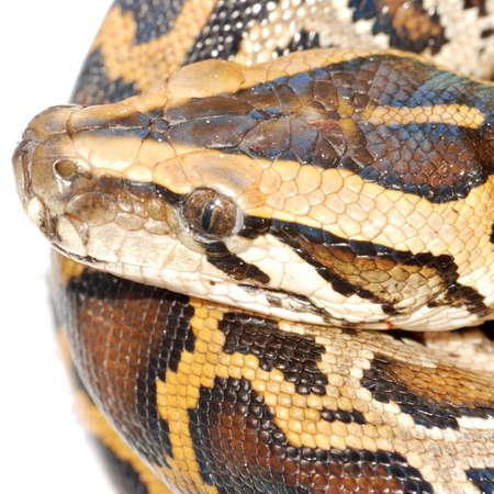 boa snake close up isolated on white photo