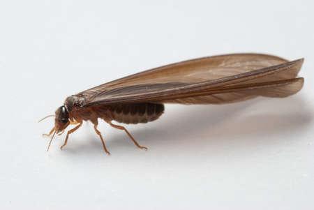 termite: termite white ant  isolated on white