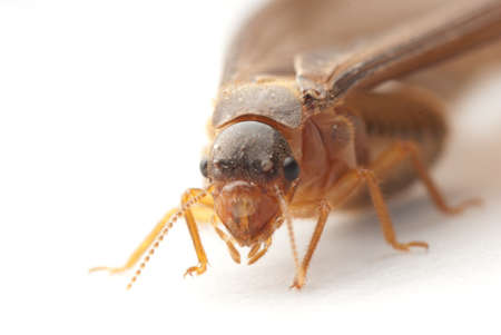 termite: termite white ant