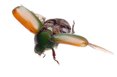 flying insect scarab beetle isolated photo