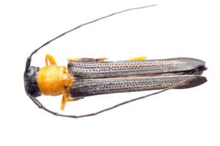 insect longicorn longhorn beetle isolated Stock Photo - 9939247