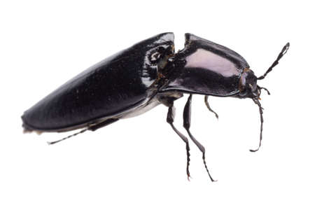 click beetle: click beetle insect isolated on white Stock Photo