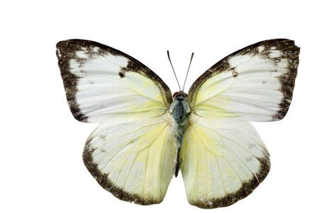 white butterfly: insect butterfly isolated Stock Photo