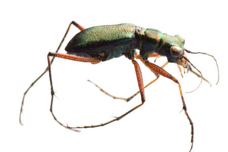 tiger beetle: insetto tiger beetle isolata on white