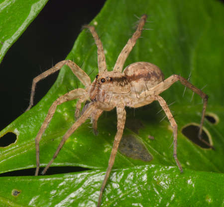 arachnophobia animal bite: jumping spider on green leaf
