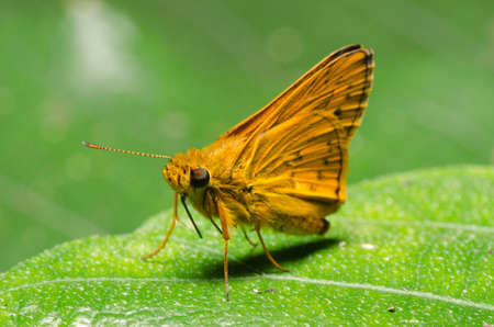 skipper: skipper butterfly on green leaf