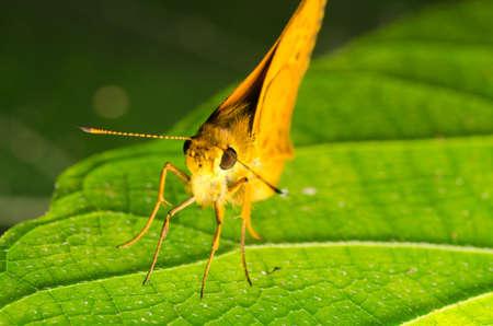 sylvanus: skipper butterfly on green leaf
