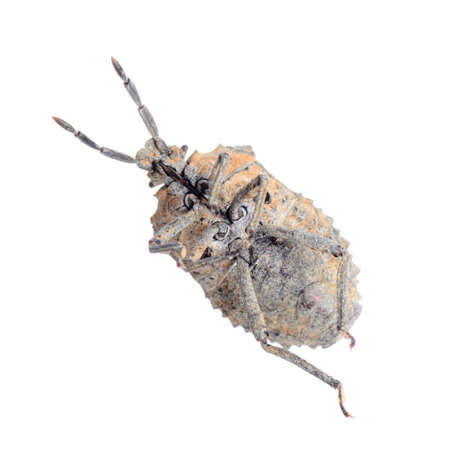 insect stink bug isolated on white photo