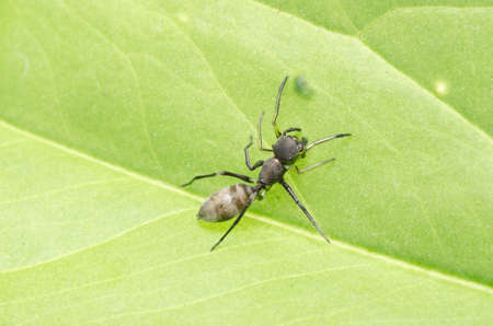 mimic: ant mimic spider on green leaf Stock Photo