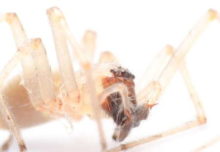 arachnophobia animal bite: spider isolated on white background