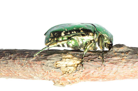 flower beetle insect chafer Protaetia elegans isolated photo