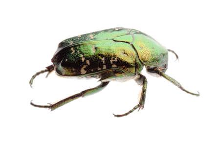 flower beetle isolated on white photo
