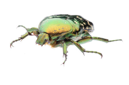 green flower beetle isolated on white background photo