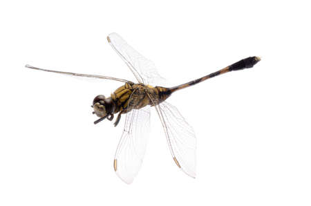 animal vein: insect dragonfly isolated in white
