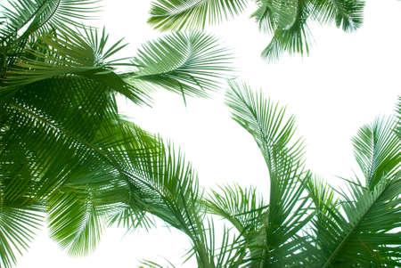 palmeras: Palmera aislado en blanco